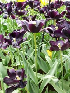 black charm tulip