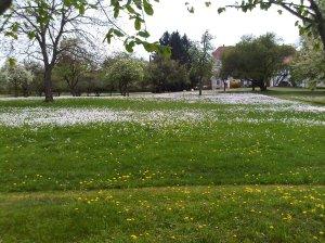 lawn daysies
